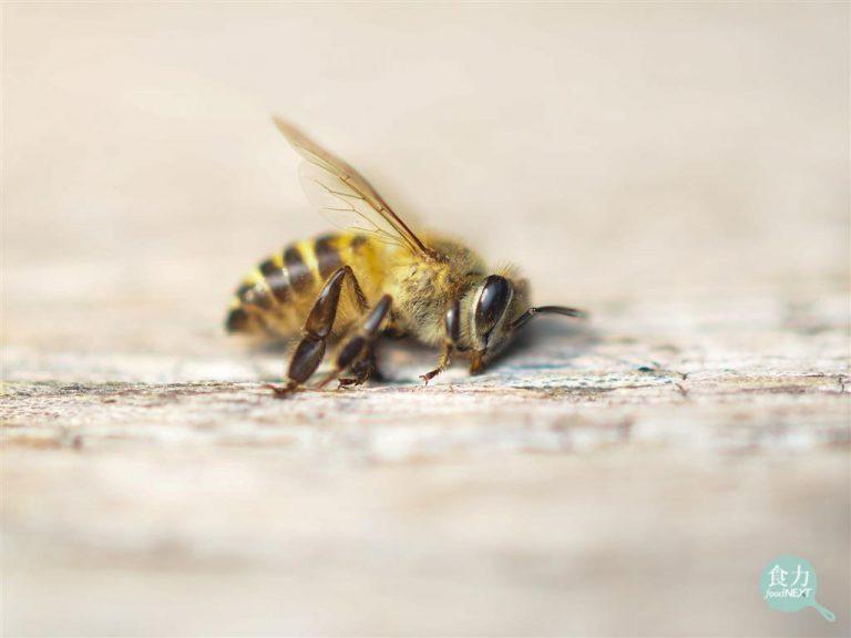 一個冬天過去,500億蜜蜂死亡!全球正在流行熱潮上的杏仁奶該負最大責任?