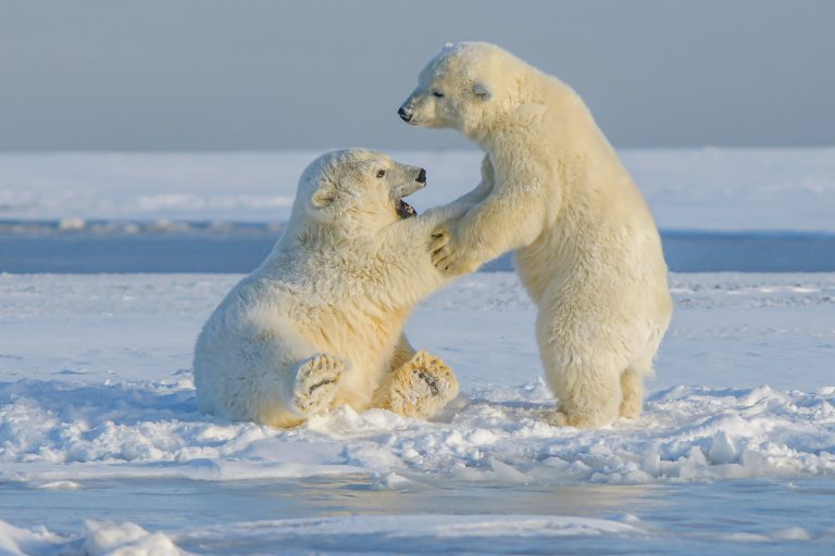 北極挪威群島創史上最高溫!科學家警告:北極熊未來恐全面消失