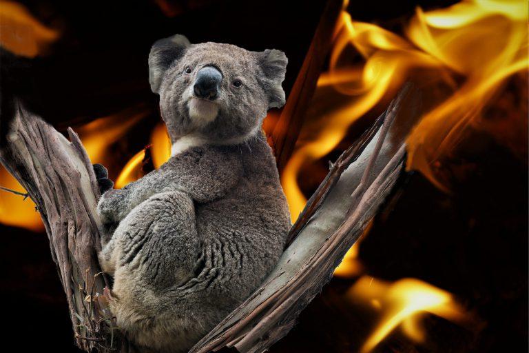 39屆全球華文學生文學獎高中新詩【Koala,討水喝 —記澳洲森林大火浩劫】